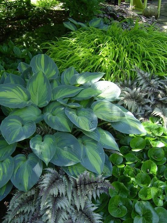 Хосты - обязательный элемент сада в японском стиле: в Японии их выращивают многие сотни лет