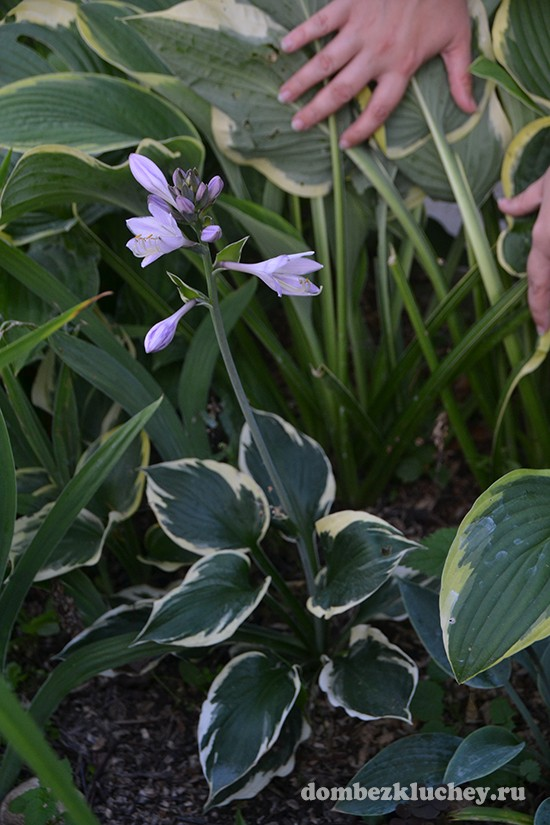 При необходимости хосты способны расти в самой глухой тени