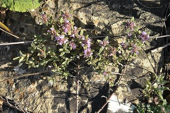 Нередко чабрецы растут в природе в трещинах между камнями - почвы им требуется совсем немного
