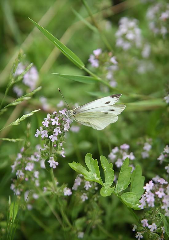 Цветущий чабрец неизменно привлекает насекомых