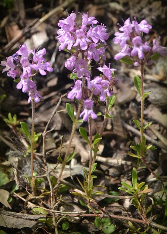 Тимьян Маршалла (Thymus marcshallianus)